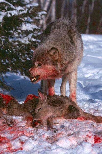 wwwbwpsorgwolf