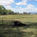 Cattle Mutilation Occurs in Rancher's Livestock, May 15th 2011…