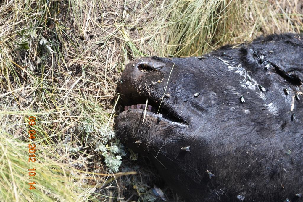 Αφαίρεση οργάνων από ζώο (αγελάδα) 04/09