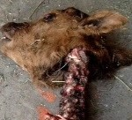 Another Colorado Animal Mutilation 05/04/13