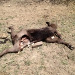 Colorado Rancher Gets Hit Again!  Another Mutilation in Trinidad on 05/13/13.