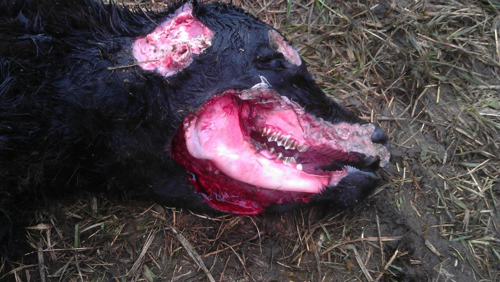 cattle mutilation picture