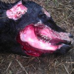 "Cattle Mutilations are ""still"" occurring across the country!"