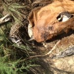 More 2013 Cattle Mutilations Occurring in Colorado and Missouri !