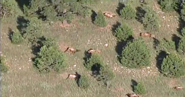 100-dead-elk-new-mexico-615