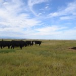 Update on Multiple Cow Mutilations in Walsenburg, Colorado.